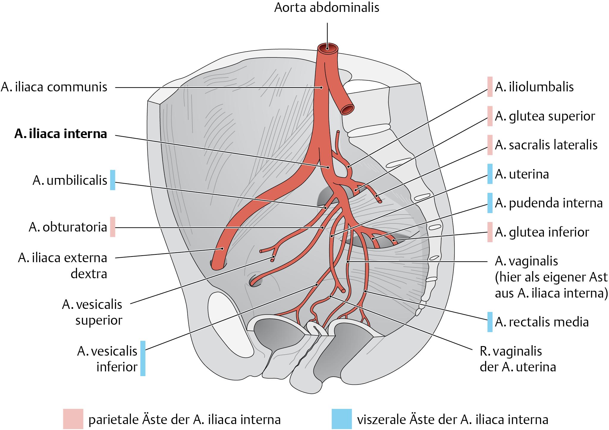 Arteria iliaca communis - via medici | cardiovascular system | Pinterest