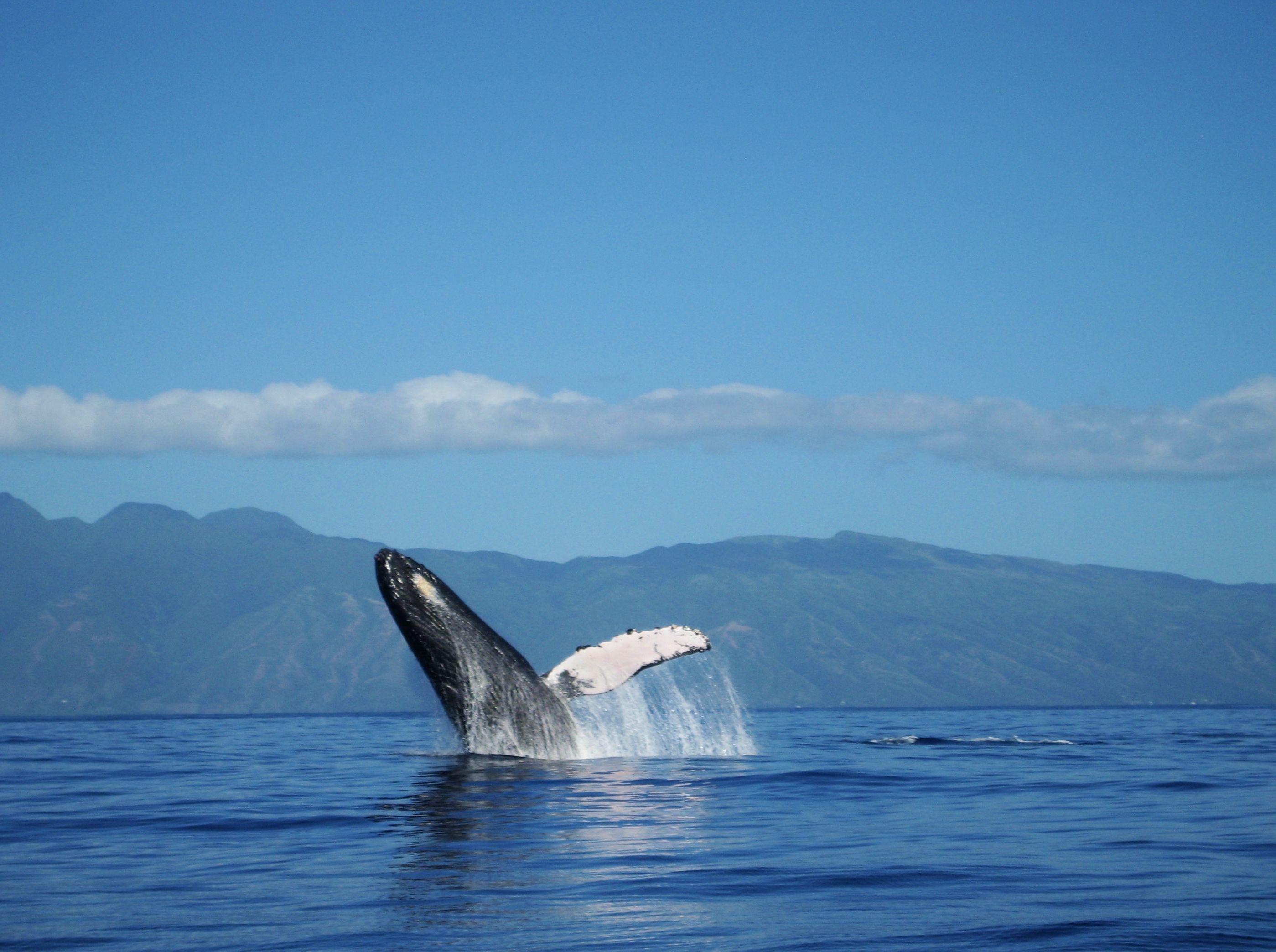 Breaching Humpback Whale Photo By Mona