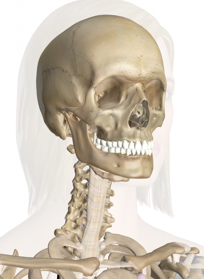 Bones of the Head and Neck | Good to know | Pinterest | Interactive ...