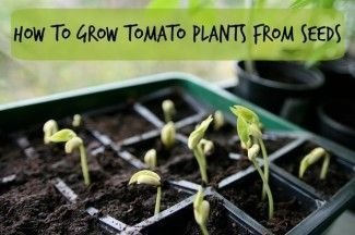Growing Tomato Plants From Seeds