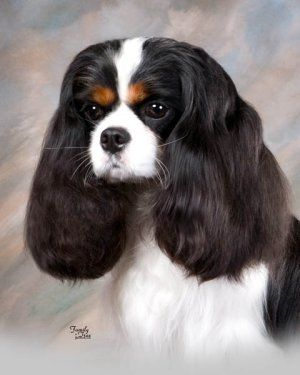 If We Brushed Tulips Hair Really Good She Would Look Like This Cavalier King Charles King Charles King Charles Cavalier Spaniel Puppy