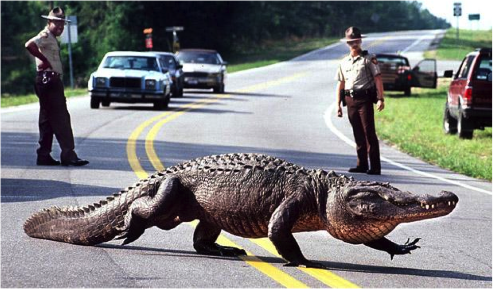 Image result for alligator walking