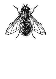 House Fly Tattoo Fly Tattoo Fly Drawing Insect Illustration