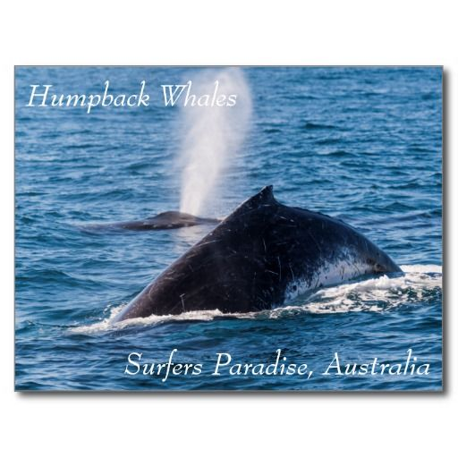 This postcard shows a pair of Humpback whales taking a breather on the surface in the waters off Surfers Paradise, Australia during their annual migration. #whale #whales #humpback #humpbacks #nature #wildlife #humpbackwhale #blowhole #ocean #sea