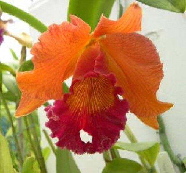 orquideas imagenes gratis - Google Search