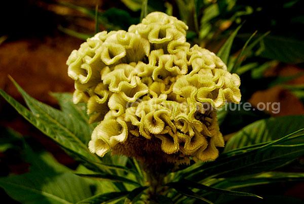Common Name Cockscomb Lemon Yellow Woolflowers Velvet Flower Botanical Name Celosia Cristata Family Amarantha Herbaceous Perennials Velvet Flowers Flowers