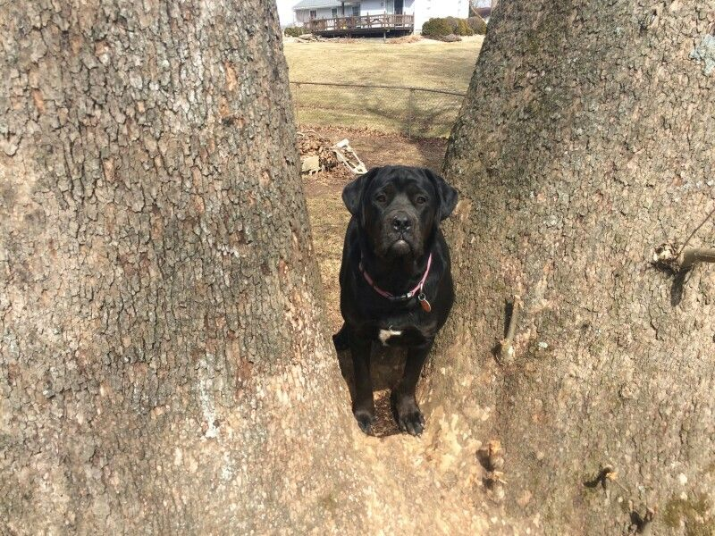 10 month old Cane Corso, so serious sometimes!   Cane ...