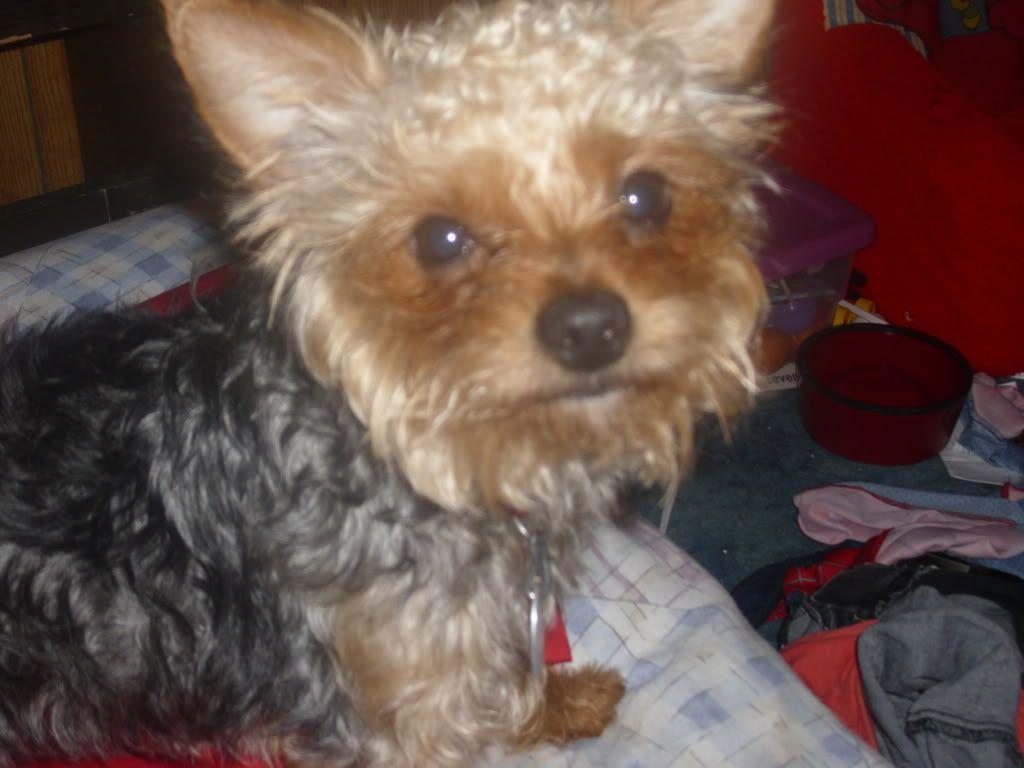 Yorkie Poodle Dog Breeds Wallpapersdog Breeds Wallpapers Yorkie