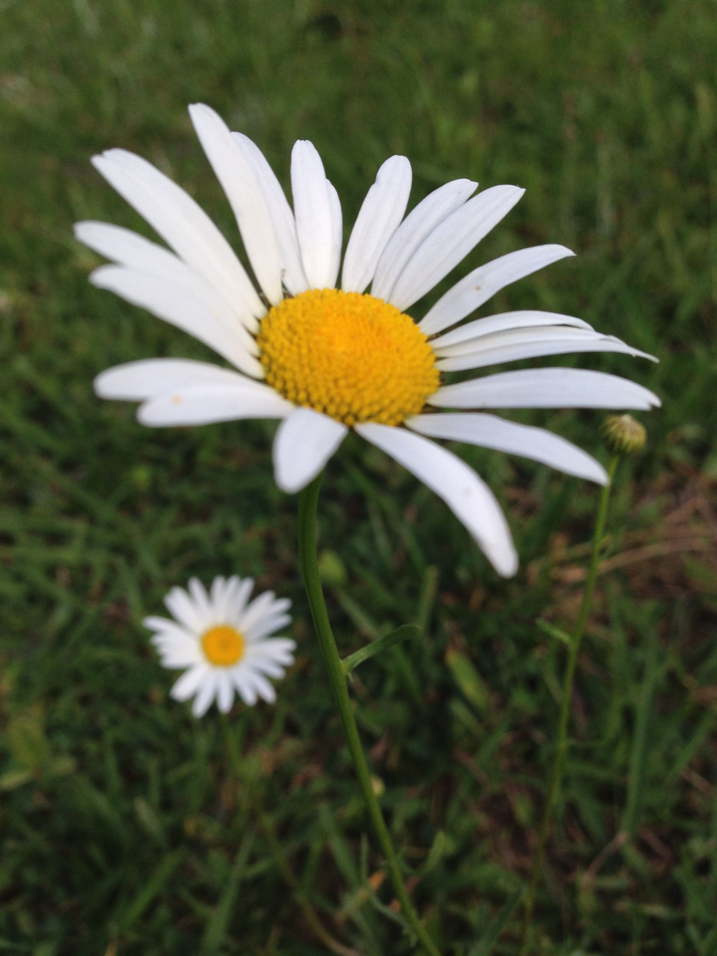 Big daisy little daisy photography pinterest daisy flowers big daisy little daisy my flower daisy flowers daisies grandparent daisy izmirmasajfo