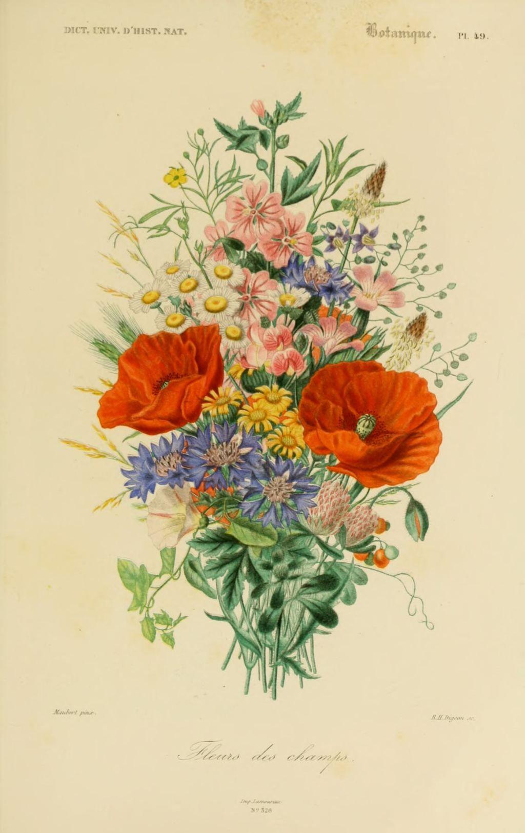 gravures couleur de fleurs , Gravure de fleur 0209 fleurs des champs ,  Gravures, illustrations, dessins, images