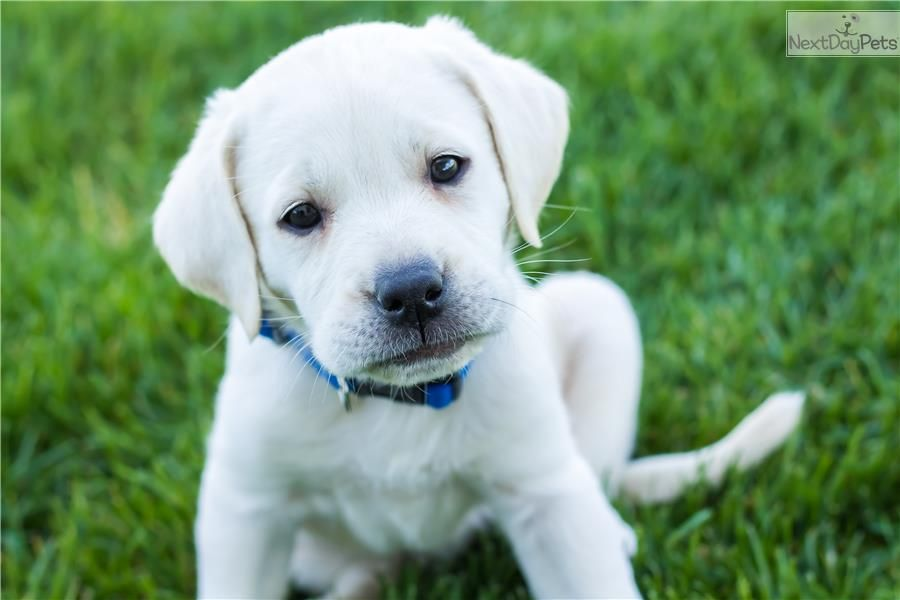 Professionally Trained Male White Lab Puppy White Lab Puppies