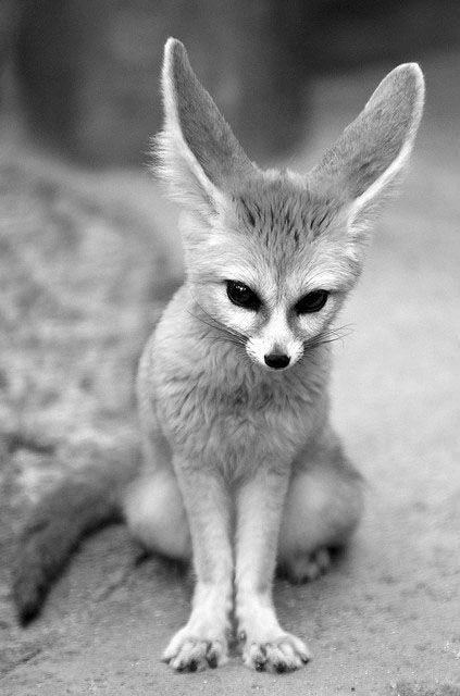 I want to play with a fennec fox