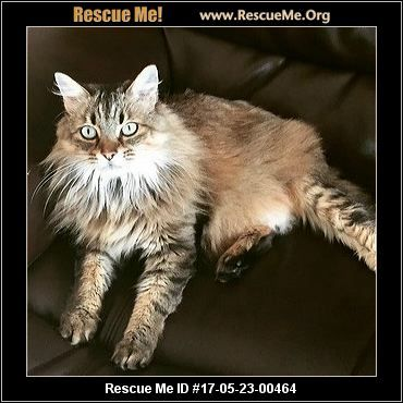 Usa Florida Norwegian Forest Cat Rescue Adoptions Rescueme Org Nfo Nfc Adoptions Also Available From Norwegian Forest Cat Forest Cat Norwegian Forest