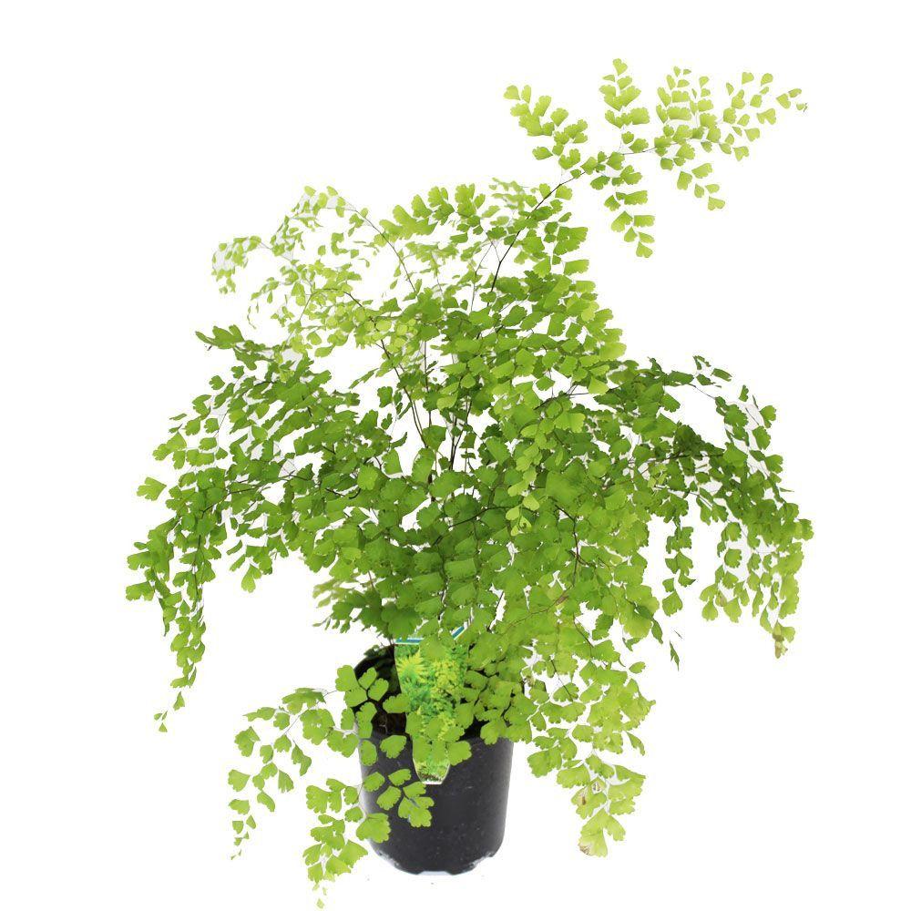 Maiden Hair Fern 130mm Plants, Foliage, Gardening advice