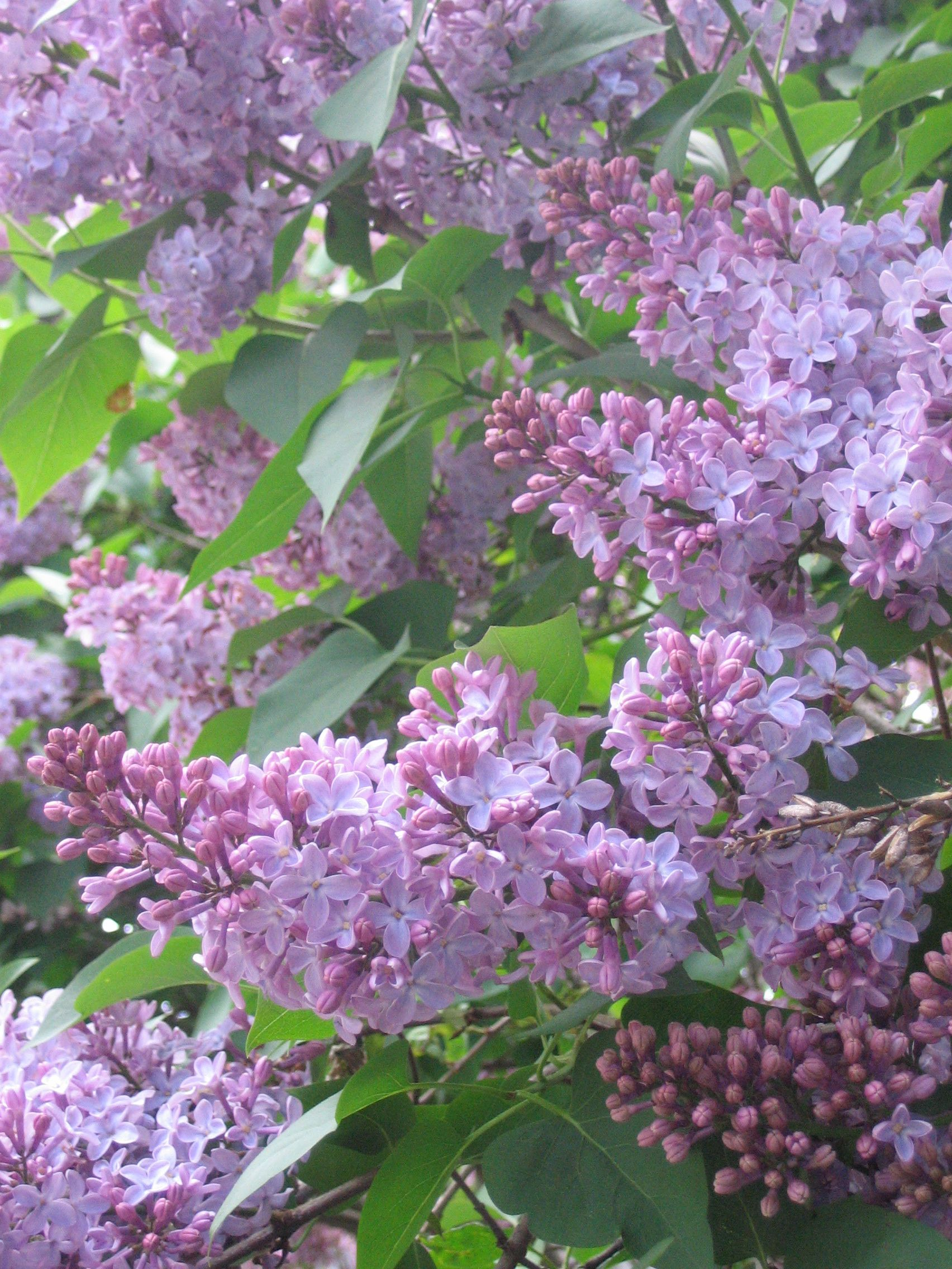 Many Old Log Cabins Have A Lilac Bush Nearby Lilac Gardening Violet Garden Lilac Tree