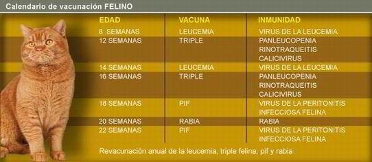 Vacunas Gatos Calendario.Gatos Tabla Vacunacion Mascotas Vacunas Gatos Gatos Y