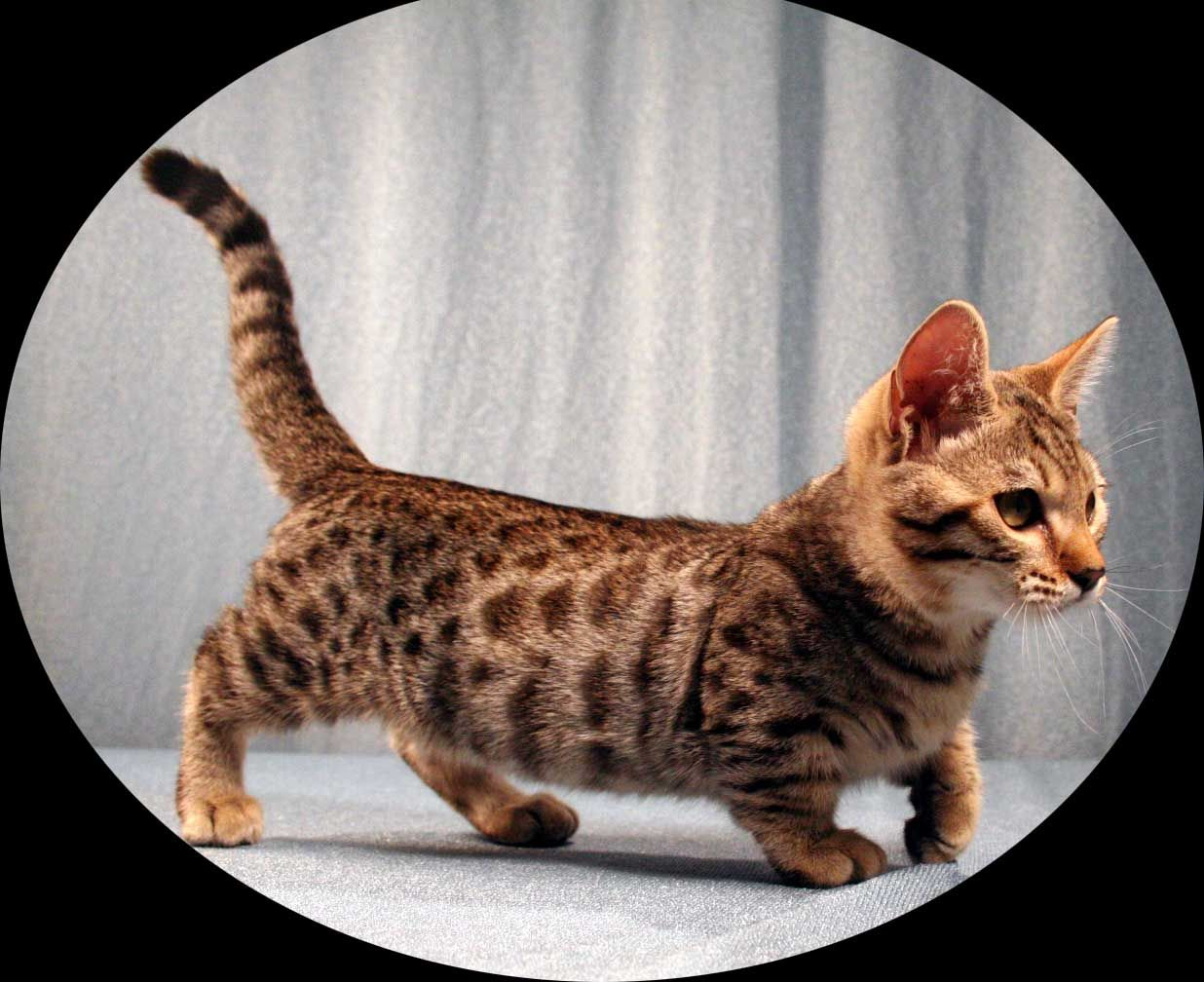 I wouldnt mind having a dwarf cat..they are so adorable ...