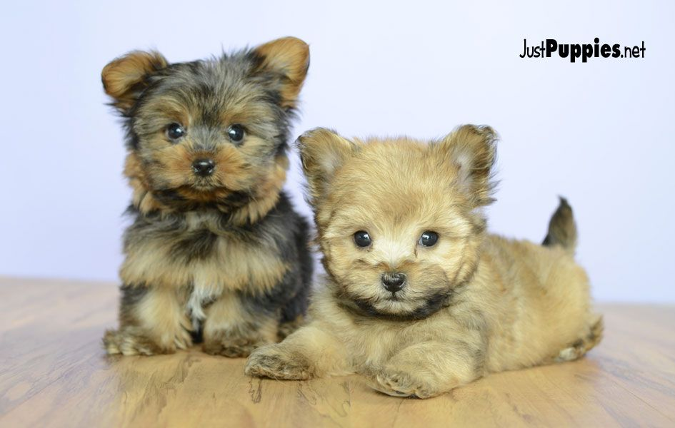 Puppies For Sale Orlando Fl Justpuppies Net Norwich Terrier