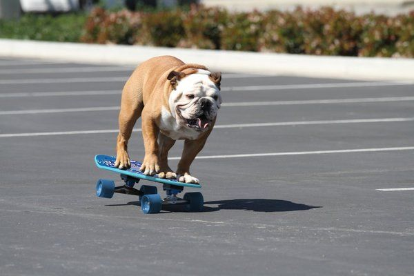 Tillman A Skateboarding Surfing And Snowboarding Bulldog Recognized As The Most Popular Dog In The United States Bulldog Skateboard Skateboard Bulldog