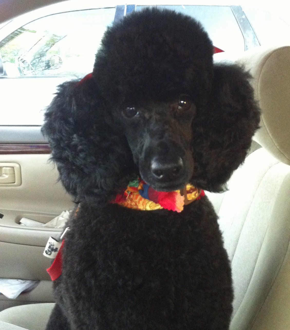 Black Standard Poodle Puppy Cut