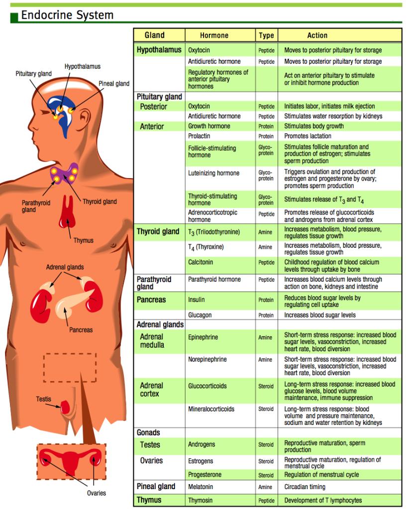 Endocrine System Chart Endocrine System Histology Ap Ii