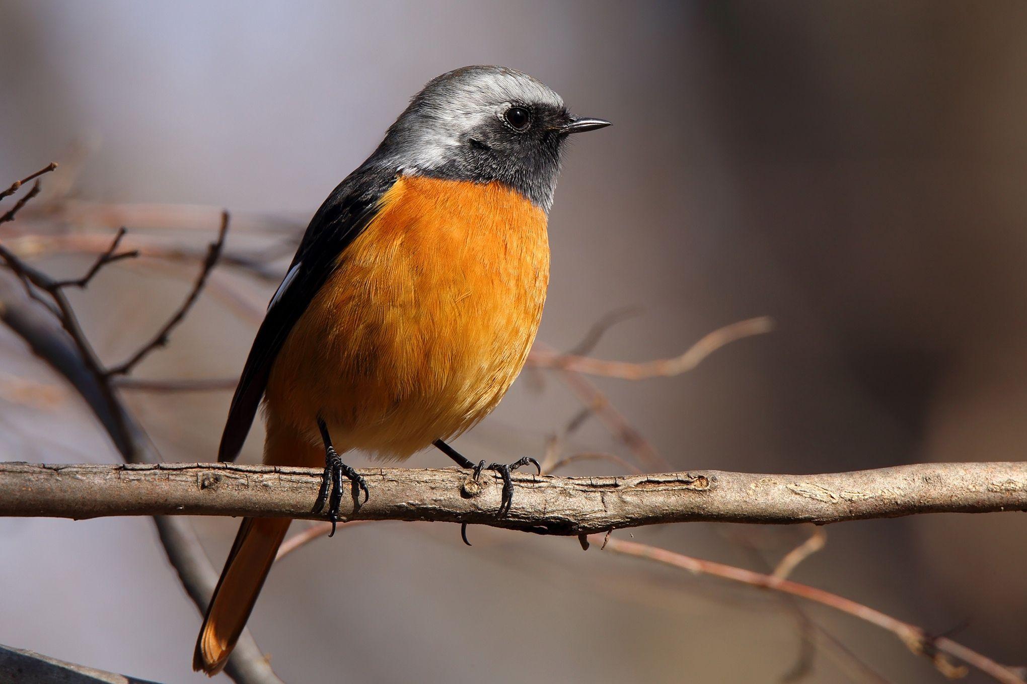 Scientific name: Phoenicurus auroreus (Pallas, 1776).  English name: Daurian Redstart.  Japanese name: ジョウビタキ (Jou-bitaki).