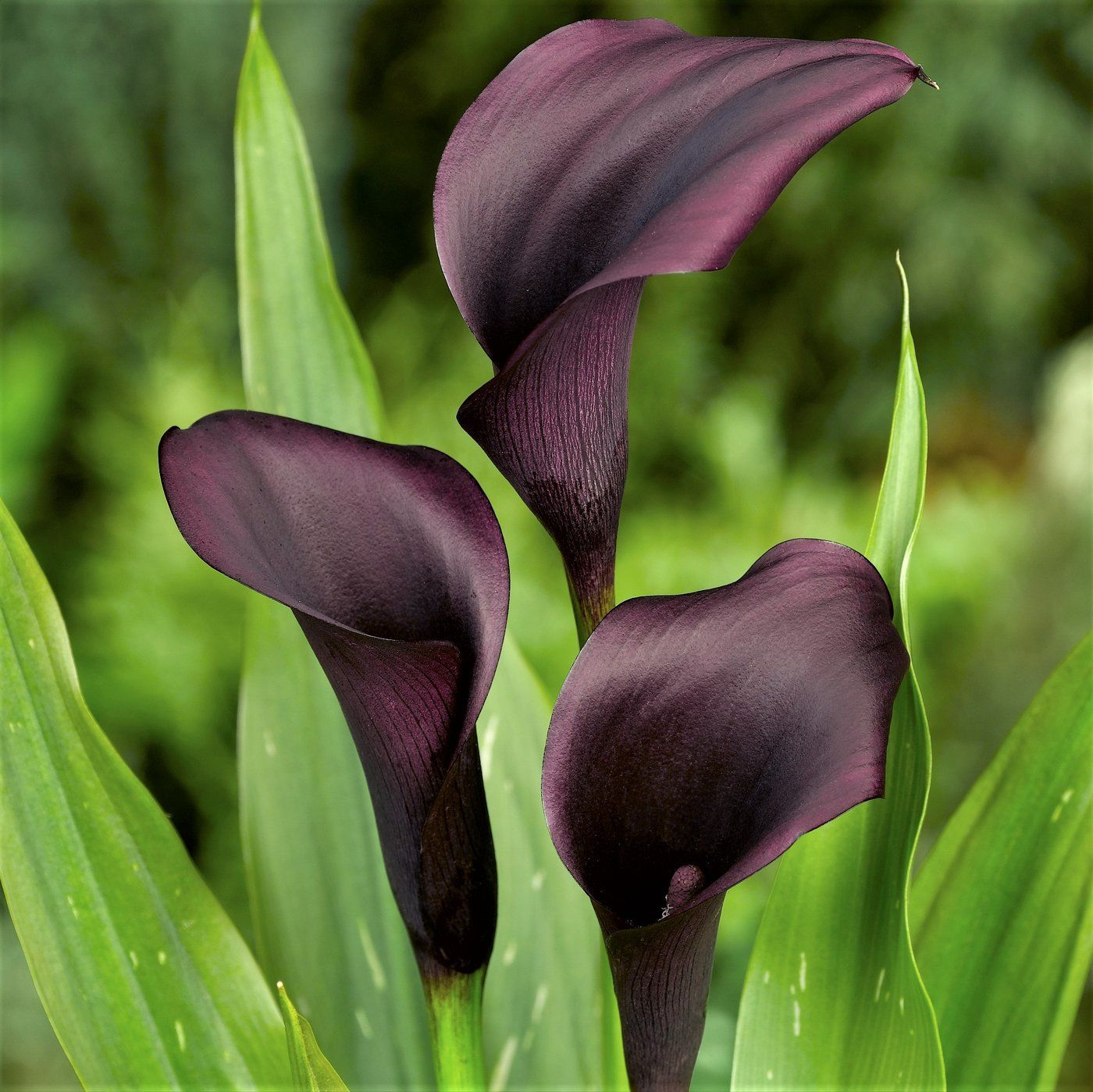 Terrific Pics Calla Lily Landscaping Suggestions Calla Lilies Would Be The Essential Aroma Flower The Particular Incandescent Bulbs On This African Calla La