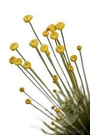 Syngonanthus chrysanthus - Hledat Googlem