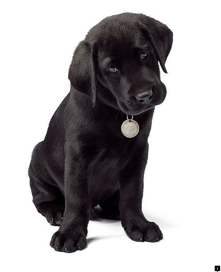 Visit The Webpage To See More On Adopt A Puppy For Free Follow The Link For More Information Check This Website In 2020 Labrador Retriever Labrador Black Lab Puppies