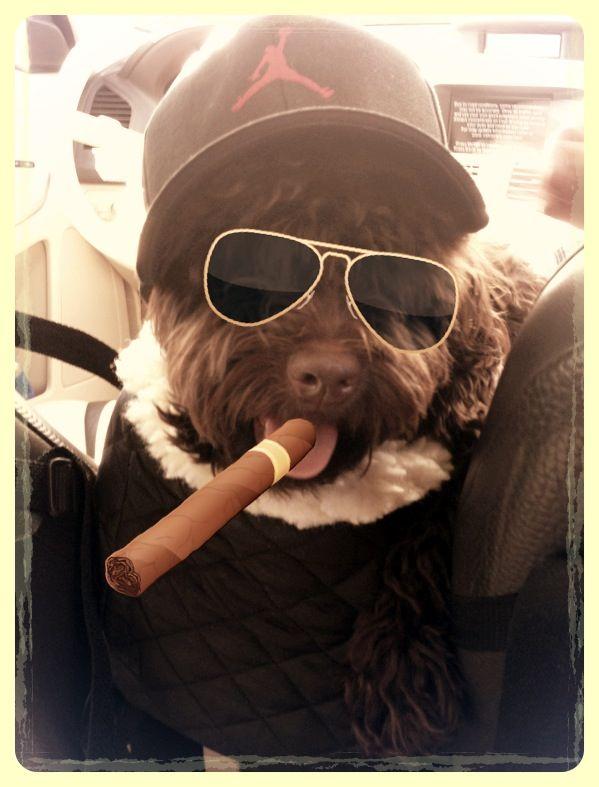 My Havanese Romeo Havanese, Puppy love, Oval sunglass