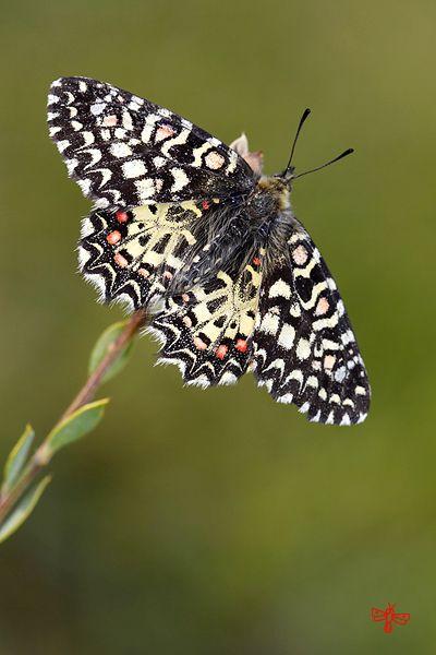 Zerynthia, rumina, Papilionidae