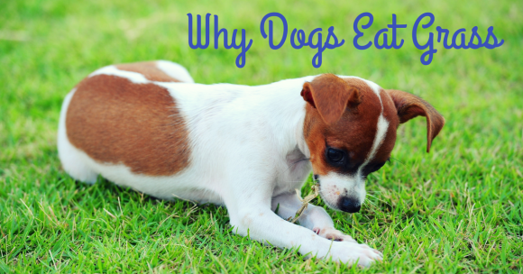 Why Dogs Eat Grass Dogs Eating Grass Lawn Fertilizer Dogs