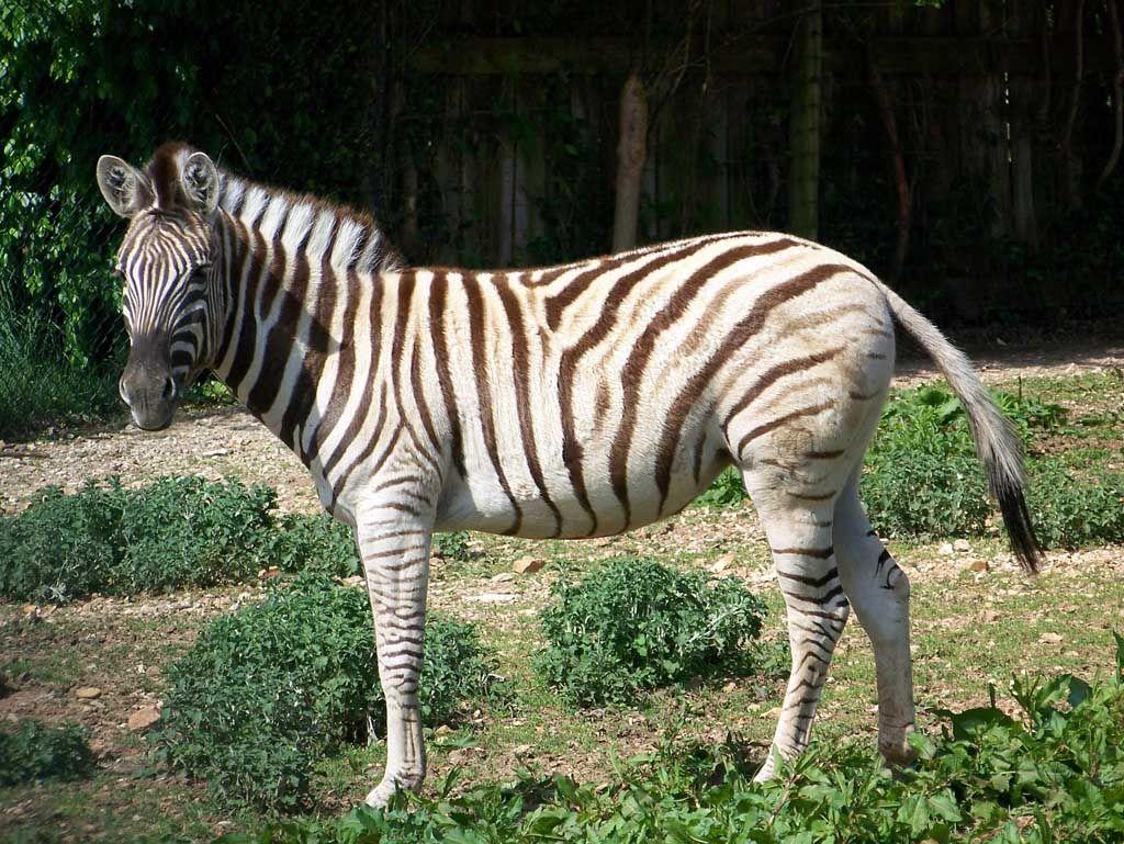 Zebra stripes zoo animals zoo animal toucan zoo animals - Colorazione pagine animali zoo ...