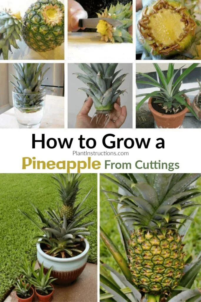 Photo of How to Grow A Pineapple In Your Home or Garden