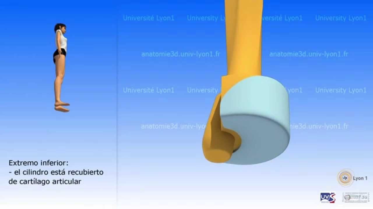 El cúbito | anatomia 3D HUESOS | Pinterest | Huesos, Anatomía y 3d