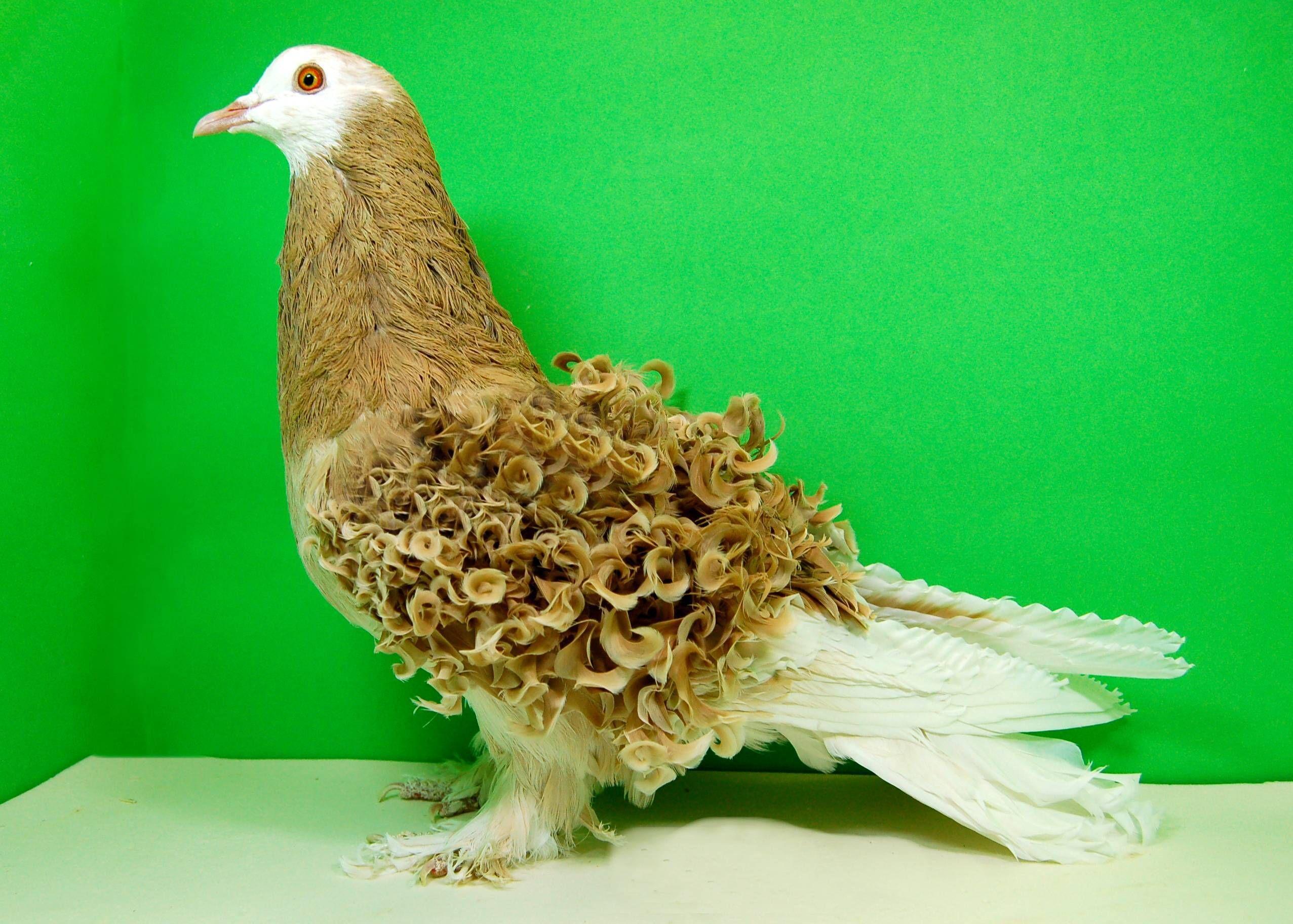 фото голубей всех пород скрапбумага идеально подходит