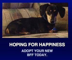 Adopt Noah on Adoptable dachshund dog, Dachshund rescue