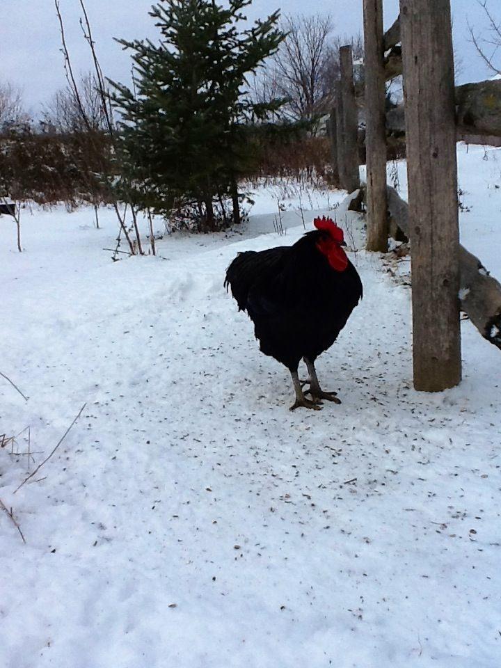 Mr. Big Dec 28 12 black jersey giant Giant chicken, Fur