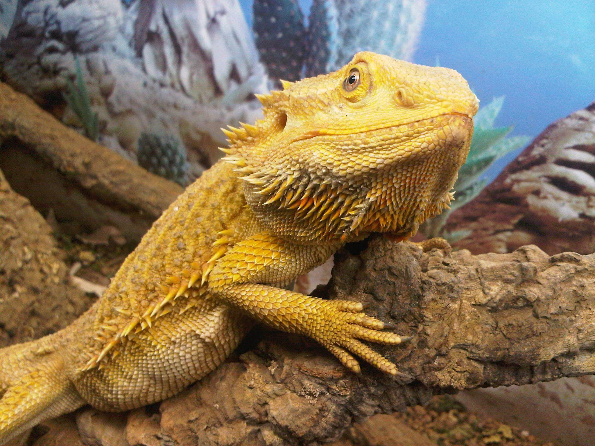 Citrus Bearded Dragon Lizard Species Best Lizard Pets Pet Lizards