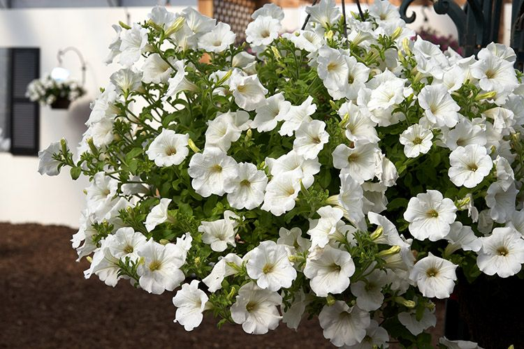 Surfinia Trailing White Improved Petunia Will Rock Your Big Bad