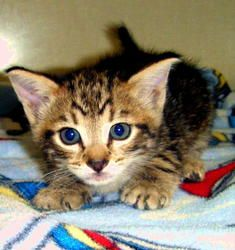 Milo is an adoptable Tabby - Brown Cat in Bremerton, WA. Milo is 8 weeks old, very sweet, healthy, vaccinated, will be neutered....