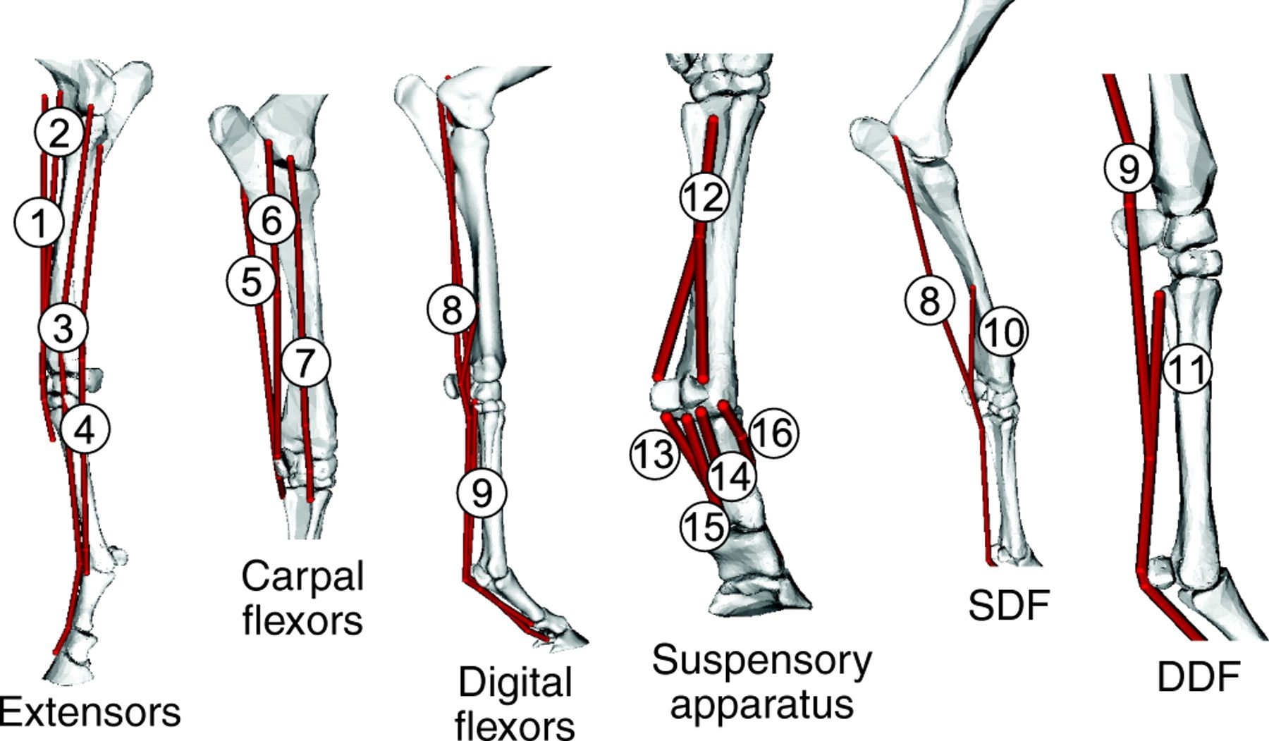 Schematic Diagram Of The Musculoskeletal Model Used In This Study The Extensor Muscles Included In The Model Were The Lacertus Fi Horses Extensor Muscles Legs