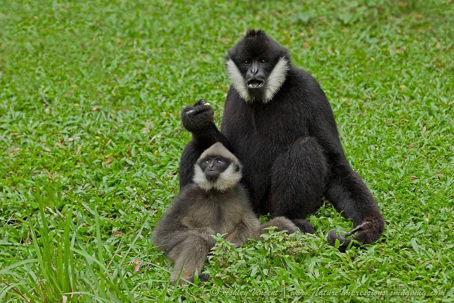 Of all the relationships I've observed of animal families at Khao Kheow Open Zoo, the one that brings me the most pleasure to watch whenever I'm up there is between this White-Cheeked Gibbon father and his son.Fotografia No Son, It's Just a Bird de Ashley Vincent na 500px