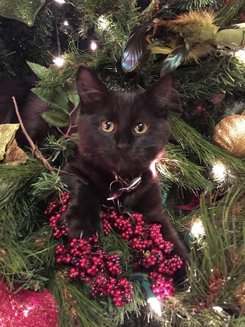 Wazowski thinks the Christmas tree was decorated just for him. Silly boy!  Christmas with kittens.......