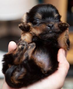 Love Yorkies For My Cousin Cute Baby Animals Yorkie Dogs