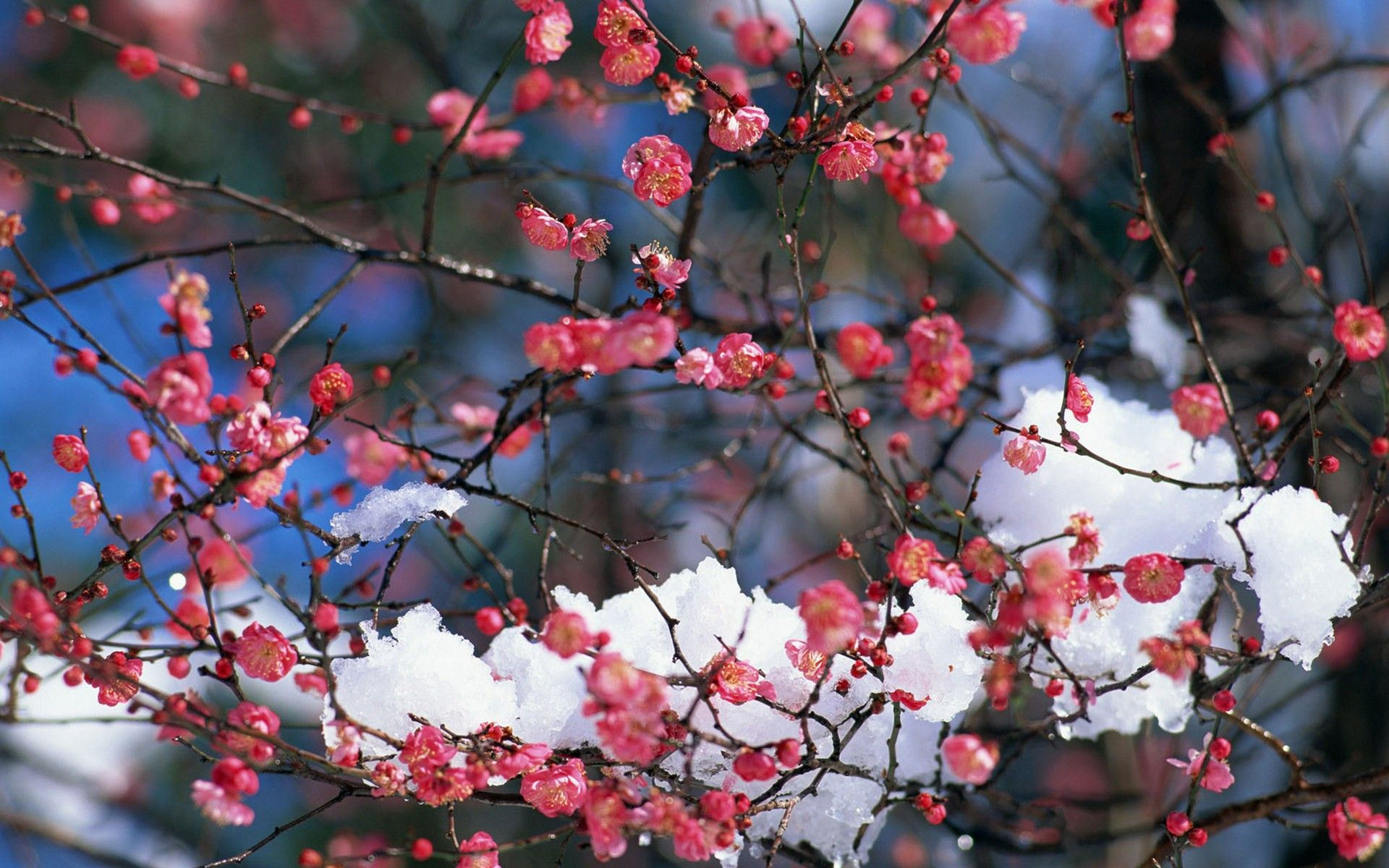 Japan Snow Cherry Blossoms Flowers Spring Pink Flowers