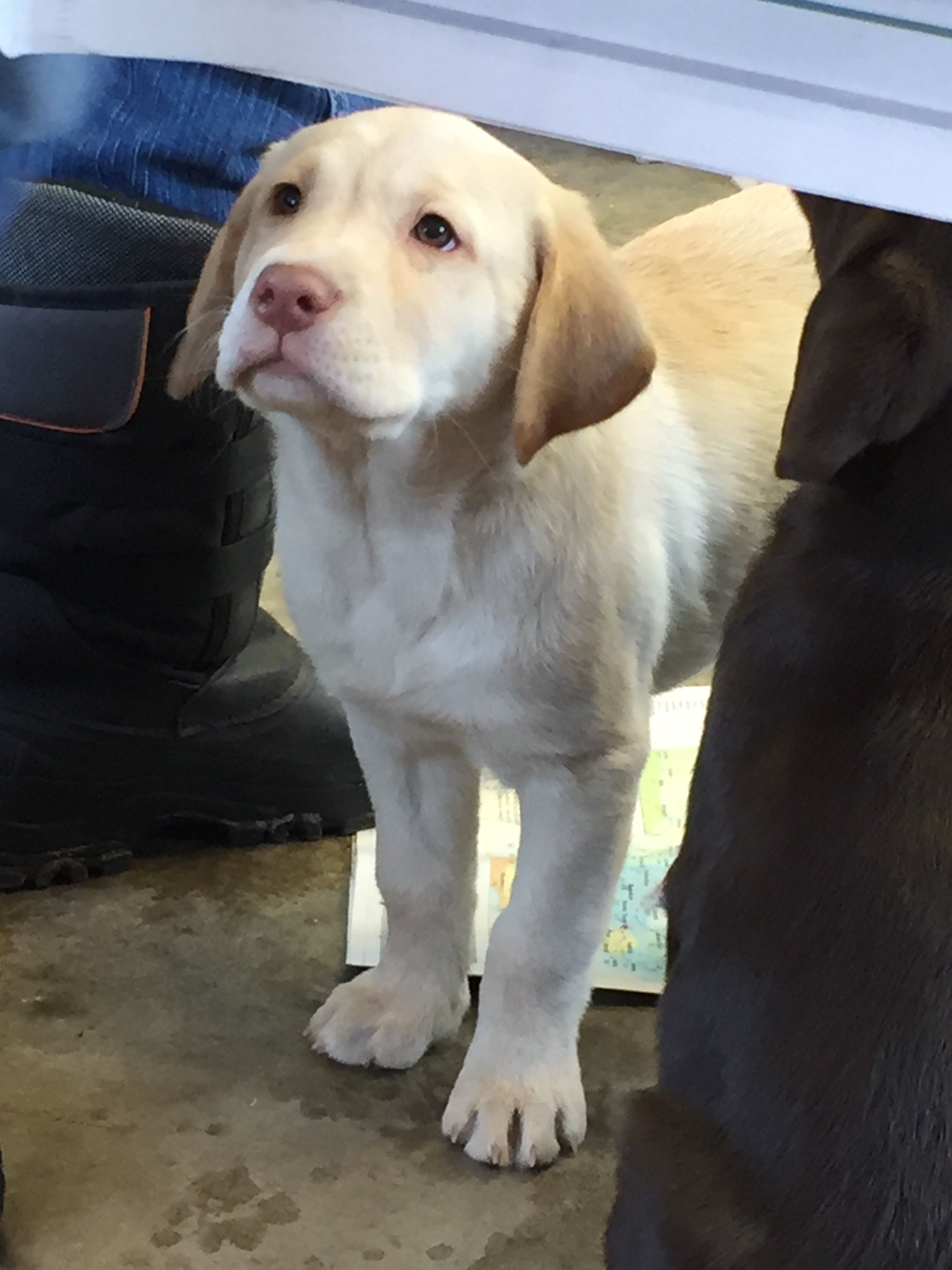 Radars Little Dudley Girl Is 8 Weeks Old On Her Way To Live In Calgary Lab Puppies Yellow Lab Puppies Baby Dogs
