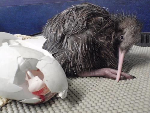 Baby Kiwi Hatches at Rainbow Springs in Fairy Springs, New Zealand, just in time for Easter…  (read more: Rainbow Springs)