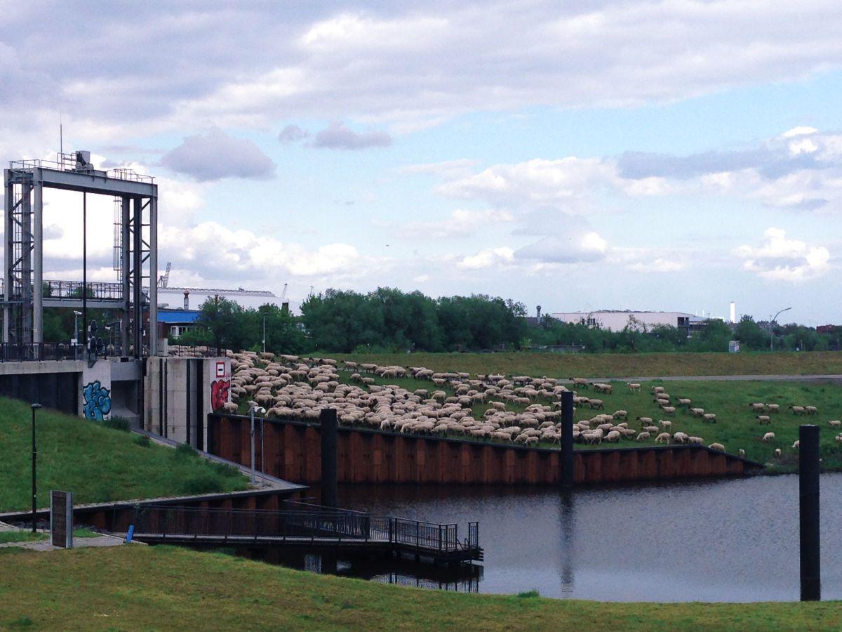 Hamburg und Schafe