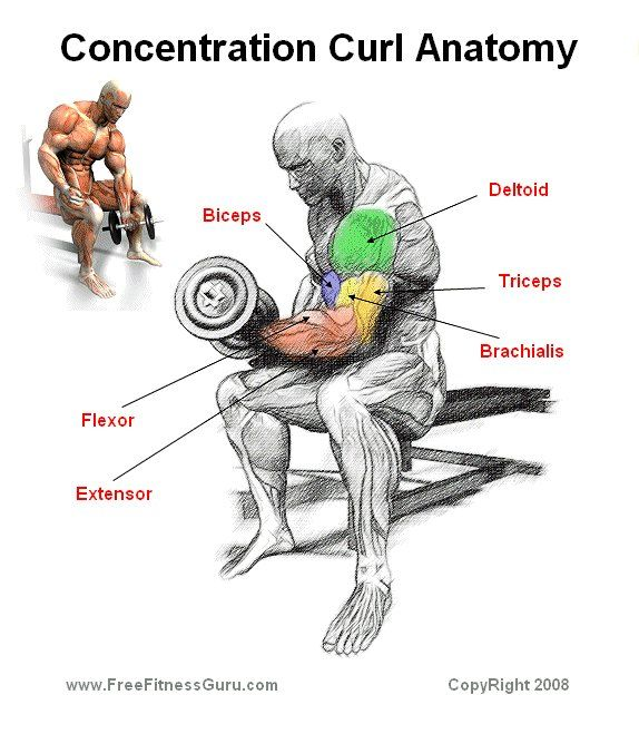Concentration curl anatomy | Men's Fitness & Health ...
